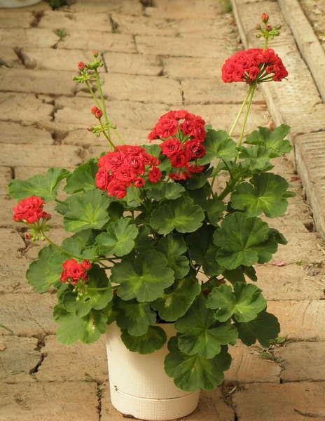 Пела�гония Фо�о summer rose tina