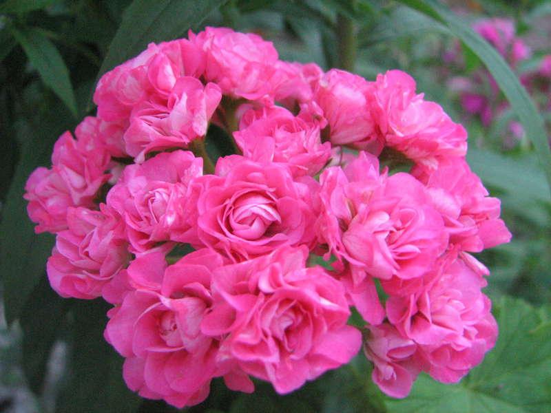 Австралиан пинк розебуд особенности выращивания 43