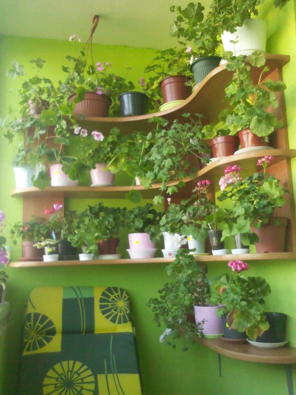 Выращивание пеларгоний на балконах, лоджиях, террасах - стра.