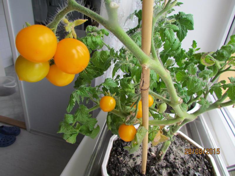 Опыт выращивания помидоров черри с подсветкой светодиодами -.