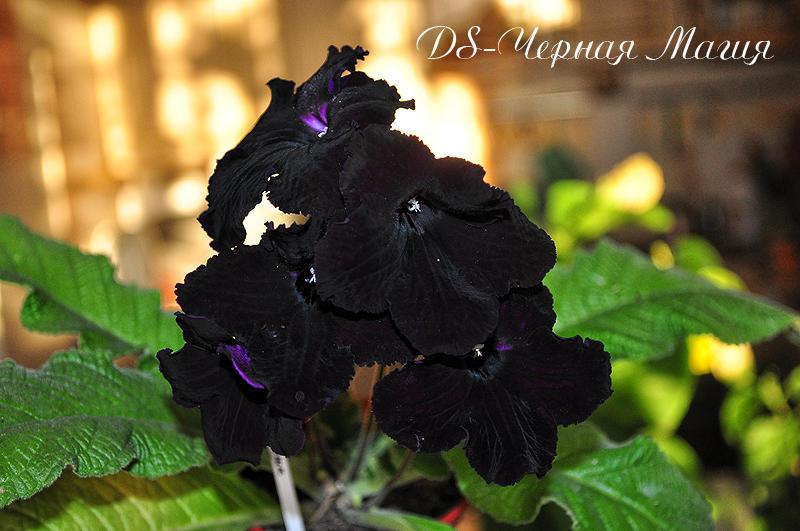 DS-Черная Магия (Dimetris), Геснериевые от Ulmo, Фиалки, форум