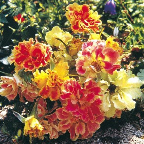 Розы Delbard