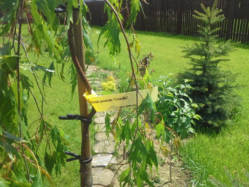 Береза можно ли сажать во дворе и у дома 15