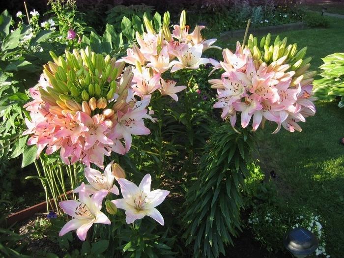 Марлен лилия цветок
