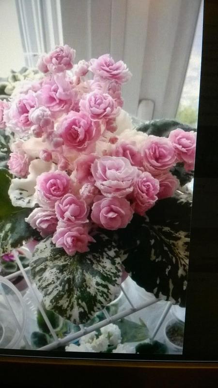 фиалка фото rose garden