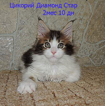 Котята Менй куны