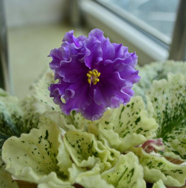 Цветы с султанами