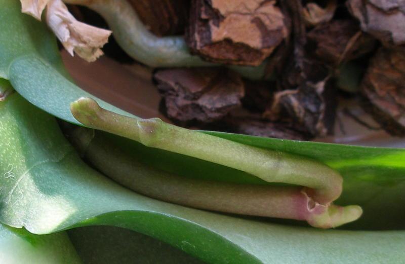 Как сделать цветонос у орхидеи 167