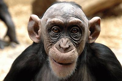 Наш любимчик из стаи диких обезьян