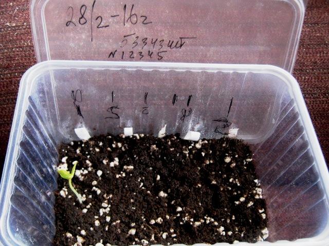 Когда сажать цикламен из семян 494
