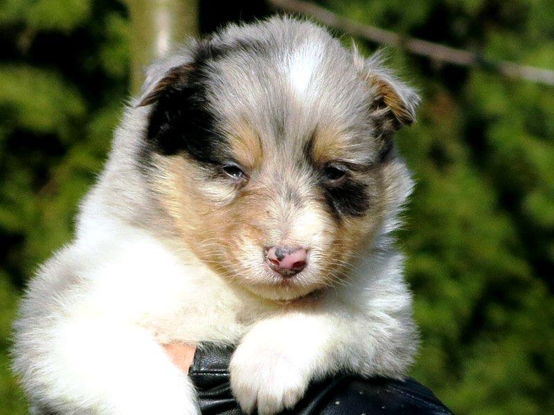 Собаки питомника скотчвуд - Страница 14 145983401751802588