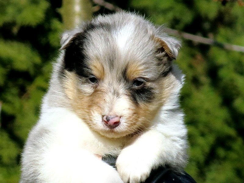 Собаки питомника скотчвуд - Страница 14 145983403291357793