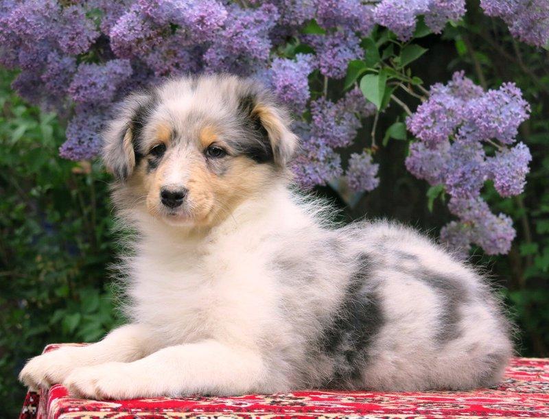 Собаки питомника скотчвуд - Страница 15 146392847316195497