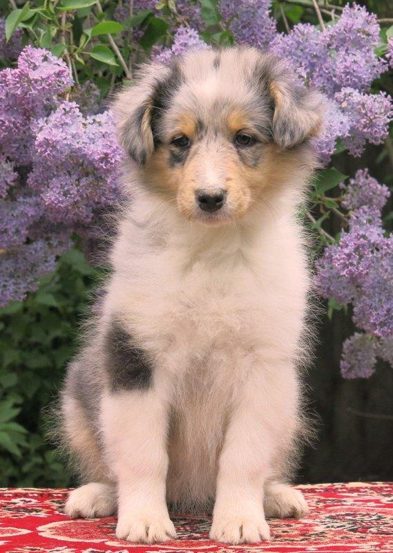 Собаки питомника скотчвуд - Страница 15 146392934412634439