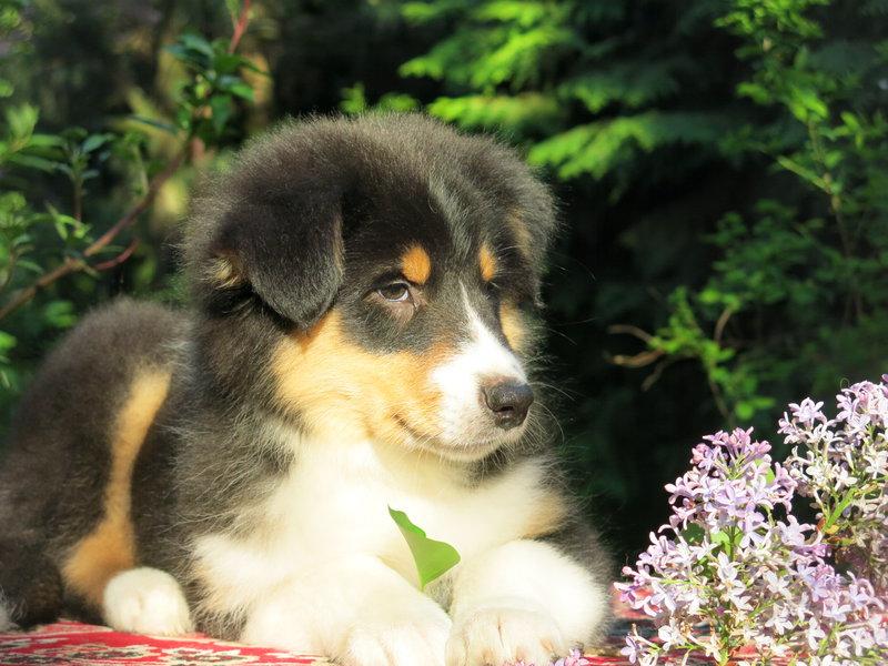 Собаки питомника скотчвуд - Страница 16 14640191086486542