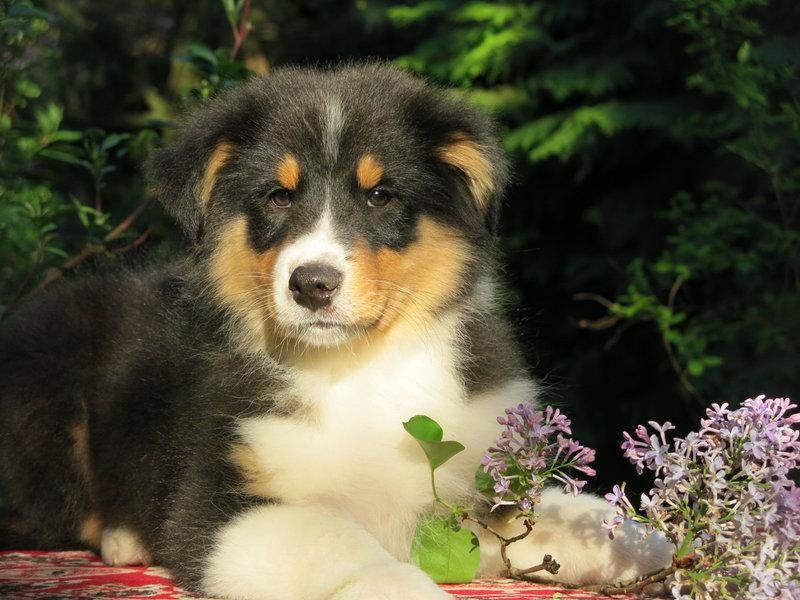 Собаки питомника скотчвуд - Страница 16 146401959623791321