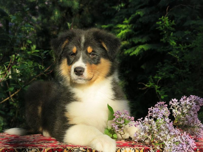 Собаки питомника скотчвуд - Страница 16 146401967132794968