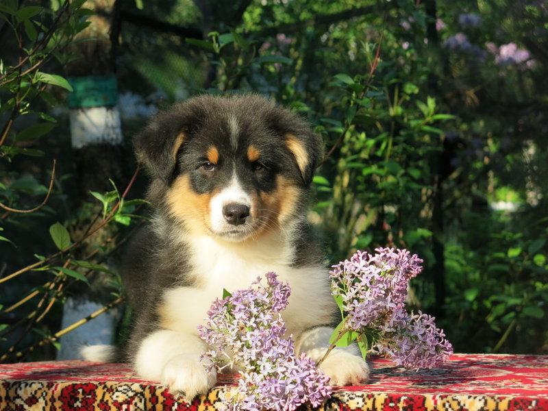 Собаки питомника скотчвуд - Страница 16 1464019704574483100