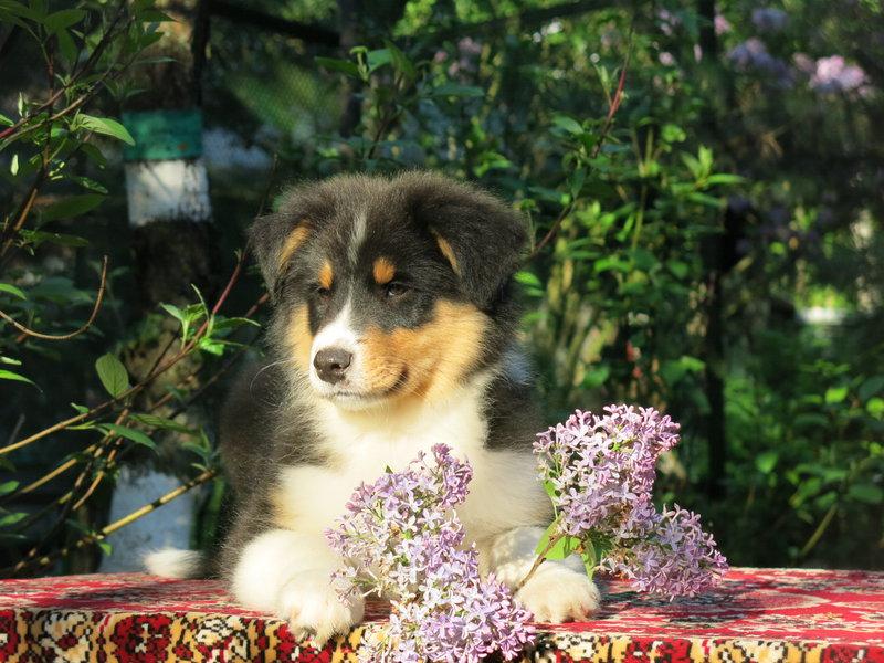 Собаки питомника скотчвуд - Страница 16 14640197448324962