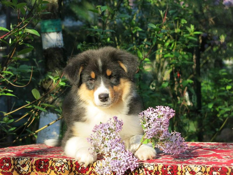 Собаки питомника скотчвуд - Страница 16 146401978240664959