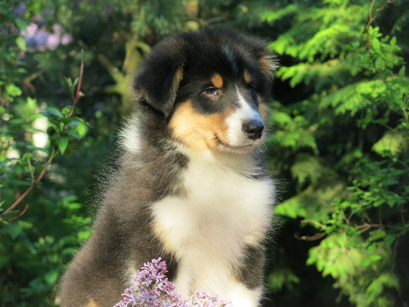 Собаки питомника скотчвуд - Страница 16 146402203149666424