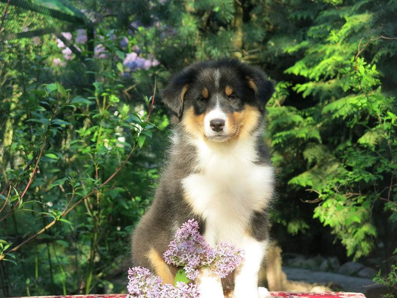 Собаки питомника скотчвуд - Страница 16 146402207389677478