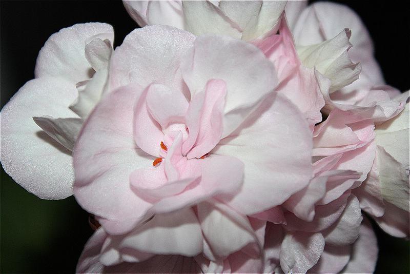 пеларгония lady mavis pilkington