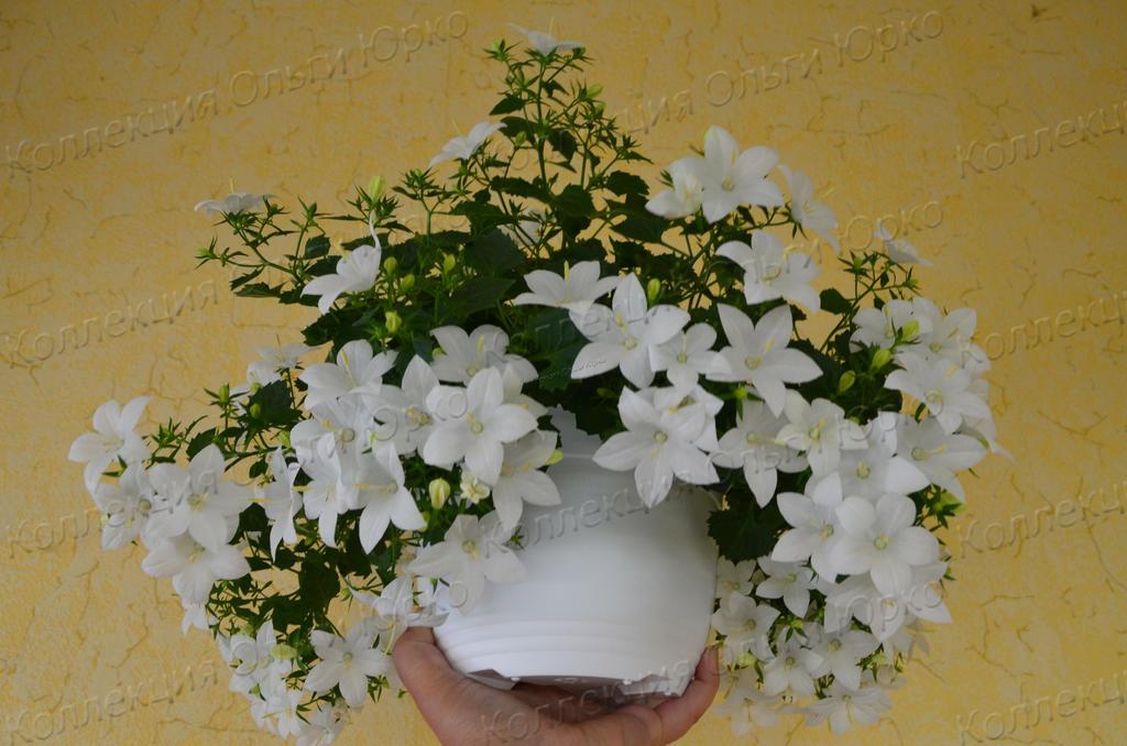 Комнатный цветок невесты 143