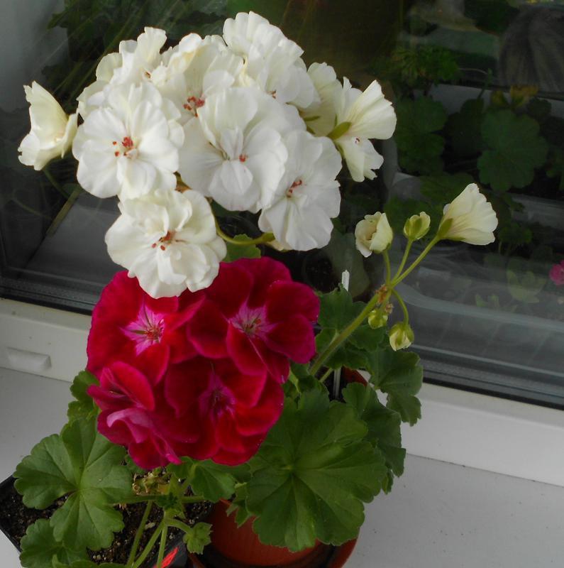 Как вырастить розы в картошке? Способы размножения роз