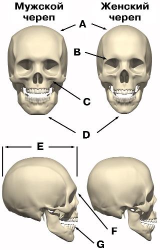 вариациями • Просмотр темы - Различия между мужскими и женскими скелетами