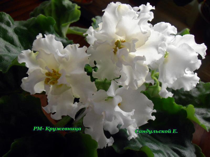 Кружевница садовый цветок