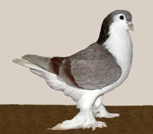 کبوتر سبز Lahore - Wikidata