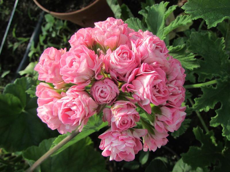 Австралиан пинк розебуд особенности выращивания 90