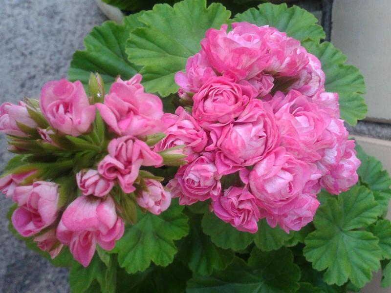 Австралиан пинк розебуд особенности выращивания 82