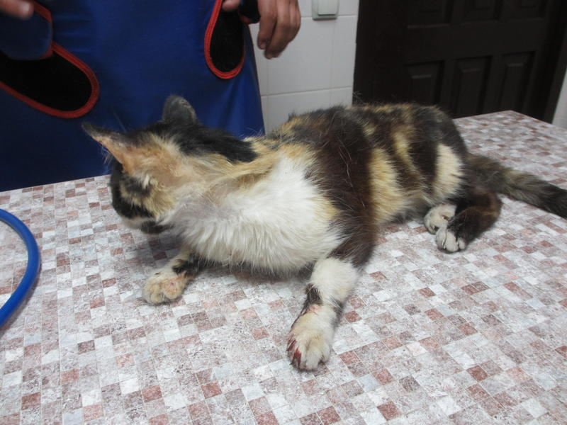 Кошечка Майя, сбитая машиной