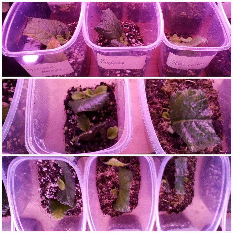 Стрептокарпус выращивание деток 65