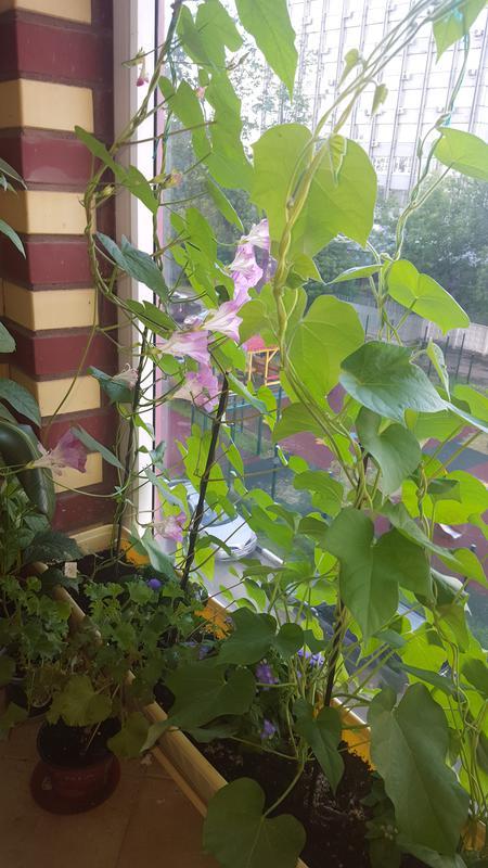Ипомея - страница 4 - форум цветоводов фрау флора.