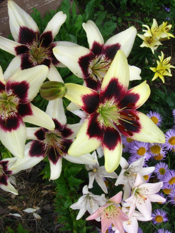Лилии цветут ( фотографии форумчан ).