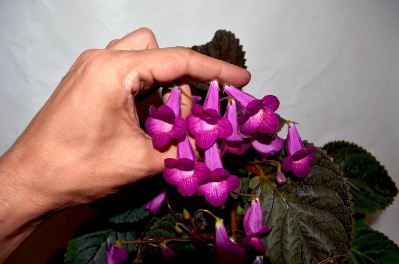 Smithicodonia 'Heartland's Joy' (D.Martens) (смитикодония), Геснериевые от Ulmo, Фиалки, форум