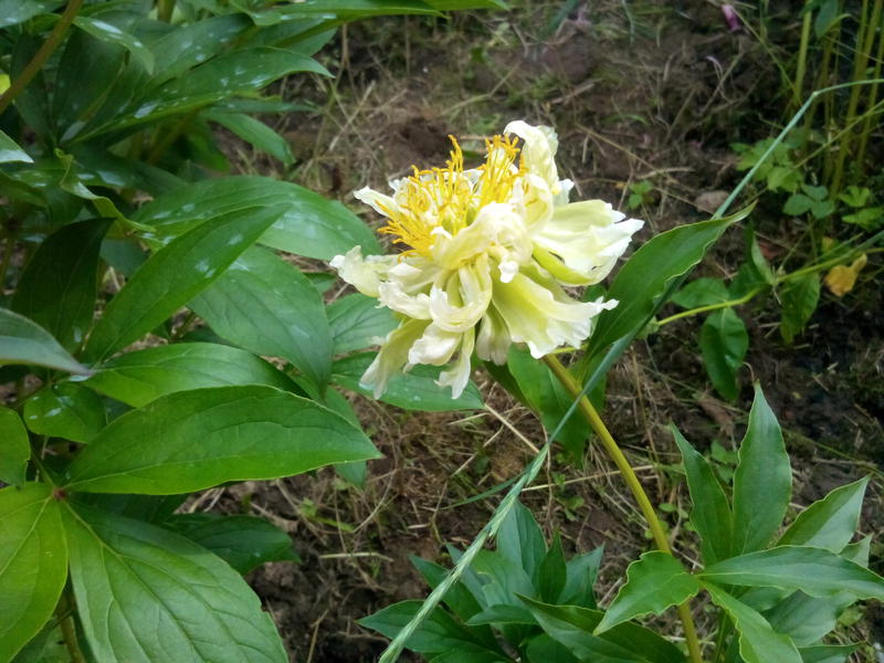 Продам пионы   Singing in the rain ,  Green Lotus , гортензию , иву   колоновидную.