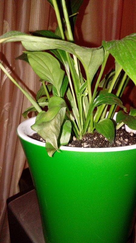 Растения лимоны выращивания уход 92