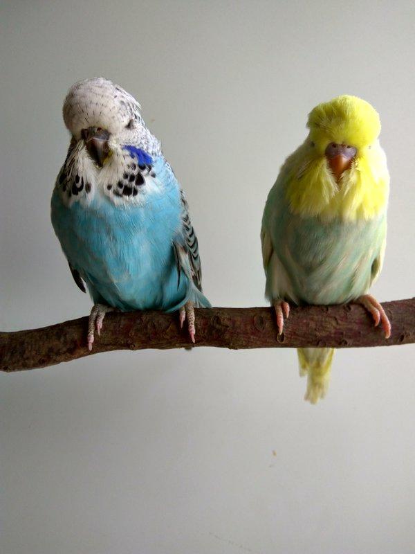 Выставочные волнистые попугаи.