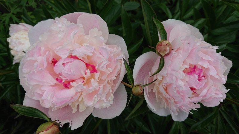 Купить 55 роз в челябинске