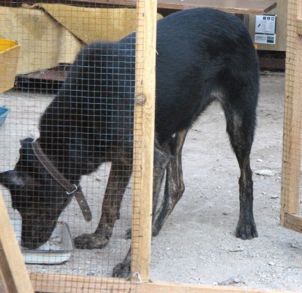 избитая беременная собака... • Темы животных