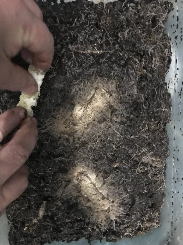Энхитреус крупный / Enchytraeus albidus - горшечный червь