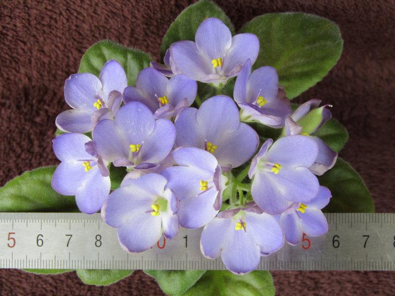 Подарю цветущую сенполию