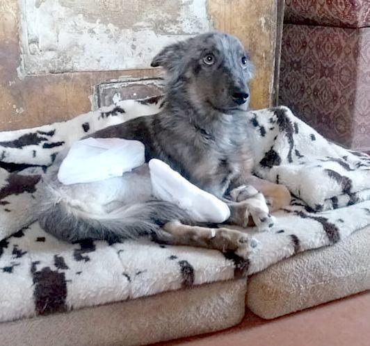 пес с переломами двух задних лап и вывихом сустава • Темы животных