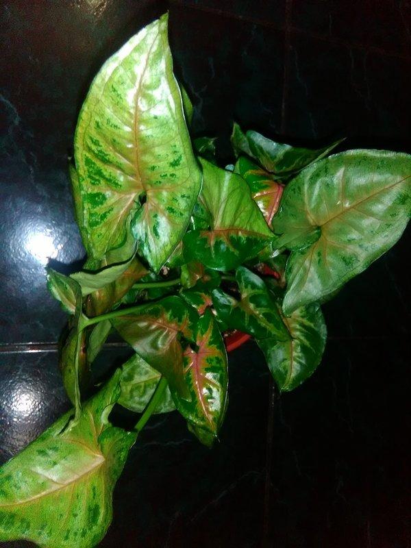 Сингониум - хвастаемся растениями