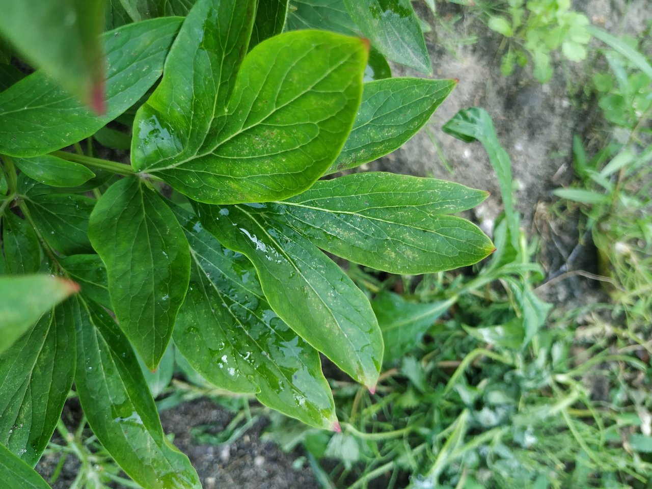 Пионы травянистые